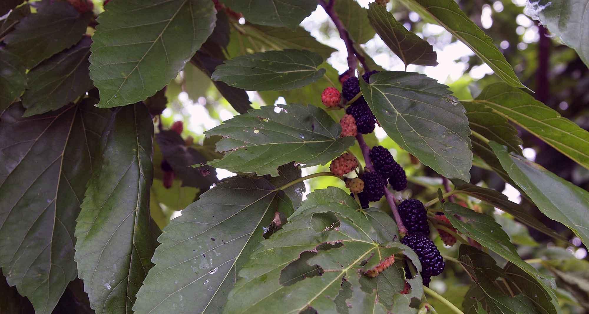 熟れた黒い実と赤い実を採ります