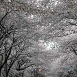 『桜』三鷹編♪